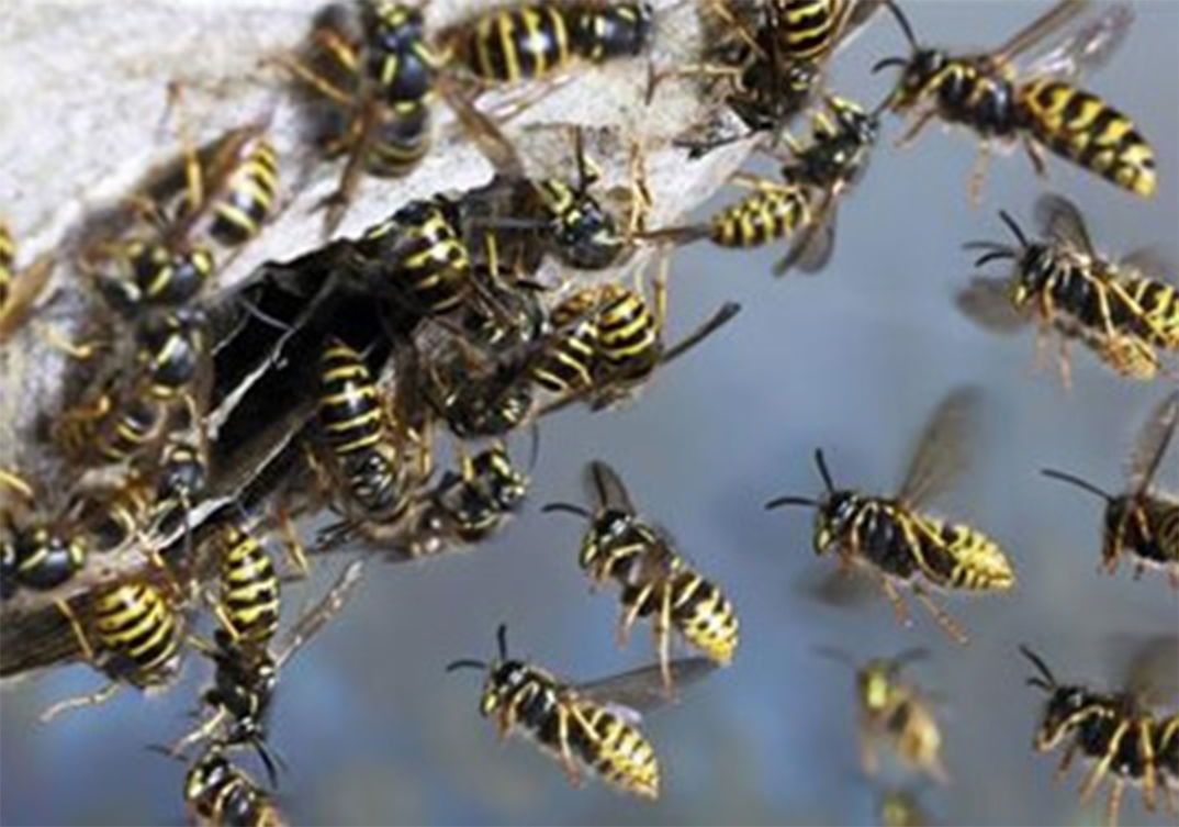 Wasp Control Lymm 24/7, same day service, fixed price no extra!