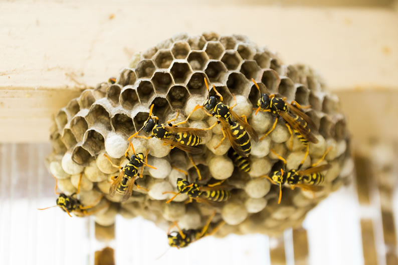 Wasp Control Manchester - Wasp nest treatment 24/7, same day service, covering Manchester, Stockport and cheshire, fixed price no hidden extras!